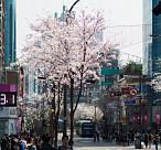봄을 알리는 4月 벚꽃축제 베스트5