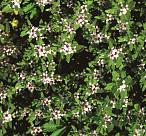 기온 상승으로 위협받는 북방계 희귀식물, 갯봄맞이
