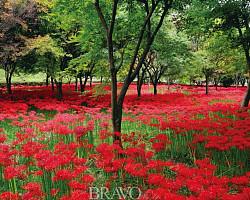 [김인철의 야생화] 남도의 가을을 단풍보다 더 붉게 물들이는 '꽃무릇'