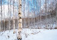 인제 원대리 자작나무 숲을 찾아서