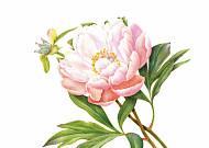 [쉽게 배우는 컬러링] 왕이 사랑한 꽃 '작약'
