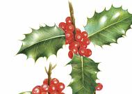 [쉽게 배우는 컬러링] 크리스마스의 상징 호랑가시나무