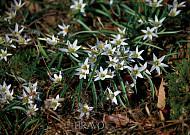 봄을 알리는 '야생 백합' 산자고!