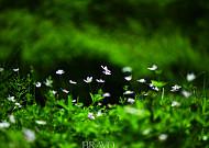 연분홍 봄을 찬미하는 '바람꽃의 종결자' 남바람꽃