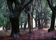 동백꽃 붉은 향불 일렁거리는, 전남 강진 백련사 동백숲