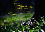 봄 보리밭엔 종달새 울고, 산기슭엔 현호색 피네!