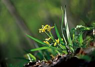 신록의 숲에 화룡점정하는,노랑붓꽃!