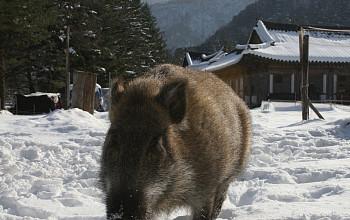 [속보] 아프리카돼지열병 감염 멧돼지, 민통선 안서 발견…연천서만 여섯 번째