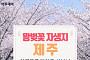 [카드뉴스 팡팡] '왕벚꽃 자생지 제주' 이름표를 달아준 신부님
