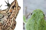 황소개구리로 착각 두꺼비, 독 위력 어느 정도길래 '두꺼비 vs 황소개구리, 구별법은?'