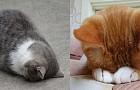 반전매력 넘쳐! 고양이들의 귀여운 잠버릇 '고멘네코'