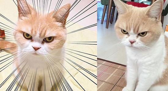 사회에 불만있다냥? 화난 표정 박제된 일본 냥이  '코유키'