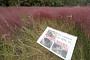 밟혀서 꺾인 '핑크뮬리'…울산대공원 핑크뮬리밭 훼손 자리에 팻말 주목