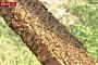 일본서 수십만 마리 꿀벌 실종…천적 습격 가능성 제기