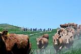 [포토]'달려서 행복한 소'