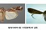 '옥수수 킬러' 열대거세미나방, 전북 고창ㆍ전남 무안서 발견
