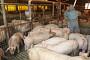 중국인 여행객 소시지서 아프리카돼지열병 바이러스 유전자 검출