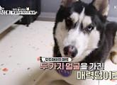 오드아이 시베리아 허스키, '개는 훌륭하다' 등장…반려견 사이의 분리불안 문제