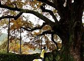맹사성 집 636년 지킨 은행나무…'다큐프라임', 한반도 대서사시 '나무'에 담긴 이야기
