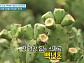 백년초, 장 건강 도와줄 수용성 식이섬유 가득…백년초 물김치 레시피 공개(천기누설)