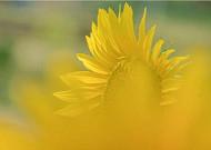 해바라기의 노란 희망처럼