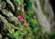 풍성한 가을을 닮은 꽃, 큰꿩의비름!