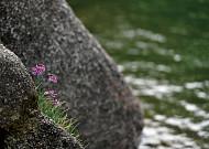 짙푸른 한탄강의 가을 친구, 강부추!
