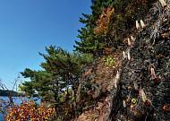 진주 남강 바위절벽의 오뚝이, 진주바위솔!