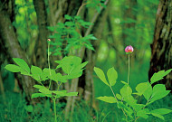 황홀한 붉은 꽃, 산작약!