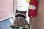 """고양이 데려온 너구리, """"너구리와 고양이는 무슨 관계지?"""""""