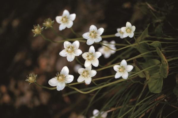 ▲물매화. 학명은 Parnassia palustris L. 범의귀과의 여러해살이.(김인철 야생화 칼럼니스트)