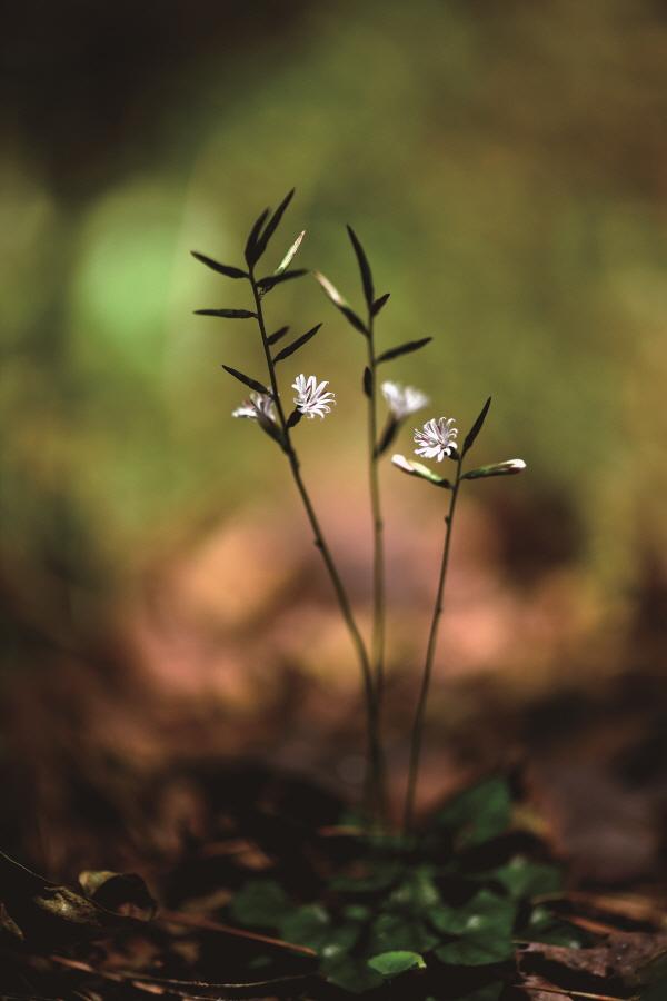 ▲'좀딱취' 학명은 Ainsliaea apiculata Sch.Bip. 국화과의 여러해살이풀.(김인철 야생화 칼럼니스트)