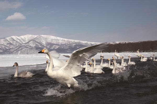 ▲오선희씨는 산과 강, 바다에서 새들과 만나면서 생명을 존중하고 환경을 사랑하게 됐다.(큰고니)