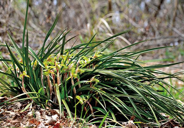▲보춘화. 학명은 Cymbidium goeringii (Rchb.f.) Rchb.f. 난초과의 여러해살이풀.(김인철 야생화 칼럼니스트)