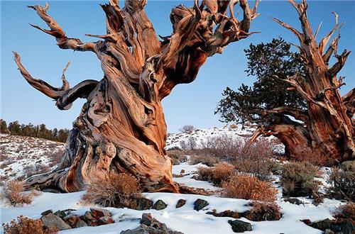 현존 세계최고령 나무는 올해 5000살…위치와 사진 비공개한 이유