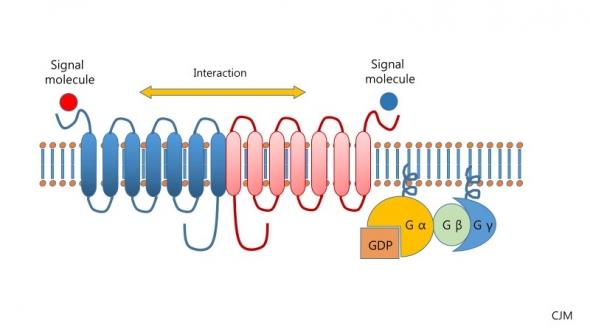 ▲이형중합체(heterodimer)형태의 GPCR
