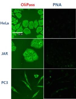 ▲기존 PNA대비, 뛰어난 세포 투과성(초록색이 올리고 뉴클레오티드)출처: 회사 제공