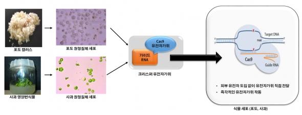 ▲CRISPR(크리스퍼 유전자가위)를 이용한 포도, 사과세포의 유전체 교정 과정