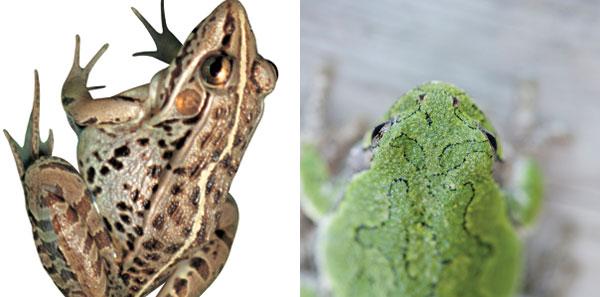 (출처=이투데이 DB(왼쪽 두꺼비, 오른쪽 황소개구리))