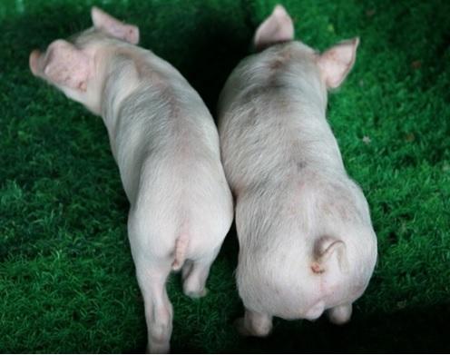 ▲근육강화돼지 사진(왼쪽 : 일반돼지, 오른쪽 : 근육강화돼지)