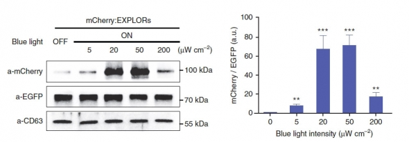 ▲EXPLOR 적용 세포에 광자극 제공여부에 따른 엑소좀 탑재효율 결과. (제공: 셀렉스)