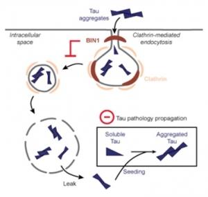 ▲tau의 세포내 이동에서의 BIN1작용 기전. Calafate et al., 2016