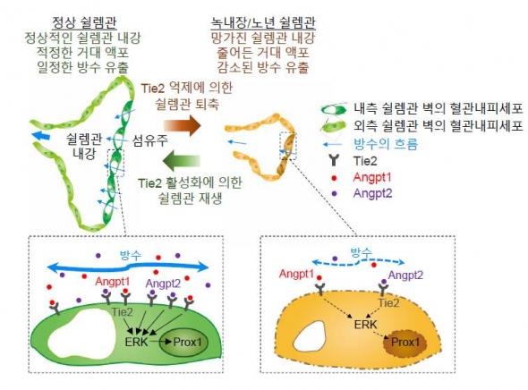 ▲ANG-TIE2 신호전달체계의 역할 (제공:IBS)