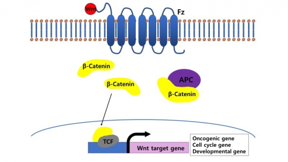 ▲Wnt/β-catenine 신호전달체계 모식도.