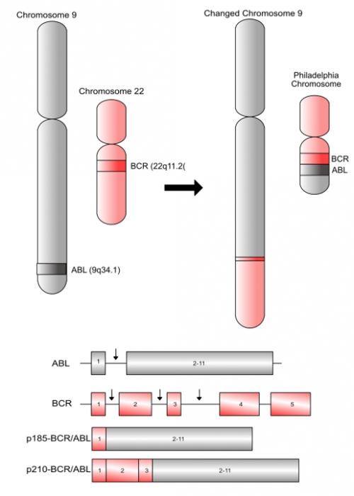 ▲그림 4 : 9번 염색체와 22번 염색체가 전좌 (Transposition) 을 일으키면, 9번에 존재하는 ABL 유전자와 22번 염색체에 존재하는 BCR 유전자가 만나 융합 유전자인 BCR/ABL을 형성한다. 22번 염색체의 BCR 유전자의 어떤 부위에서 염색체가 잘리느냐에 따라서 BCR의 1번 엑손 (Exon)과 ABL의 2-11번 엑손이 만난 p185-BCR/ABL 융합 유전자가 형성될 수도 있고, BCR의 1-3번 엑손과 ABL의 2-11번 엑손이 합쳐진 p210-BCR/ABL 유전자가 생길수도 있다.