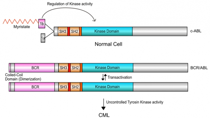 ▲그림 5: 정상세포에 있는 변형되지 않은 ABL 단백질은 (c-ABL) 말단에 존재하는Myristate 로 변형된 'Cap' 영역이 부분이 타이로신 인산화효소(Kinase Domain) 부분의 활성을 억제하는 '브레이크' 로 작동한다. 그러나 필라델피아 염색체에 의해서 생성된 BCR/ABL 단백질에는 브레이크로 작동하는 Cap 영역이 없어지고, 대신 여러 개의 단백질 분자를 결합시킬 수 있는 코일-코일 (Coiled Coil) 영역이 BCR 과 함께 딸려온다. 이렇게 변형된 BCR/ABL의 타이로신 인산화효소 (Kinase Domain) 는 서로를 인산화시켜 활성화하고, 조절되지 않은 신호전달을 유발하여 궁극적으로 CML 을 유발시킨다.