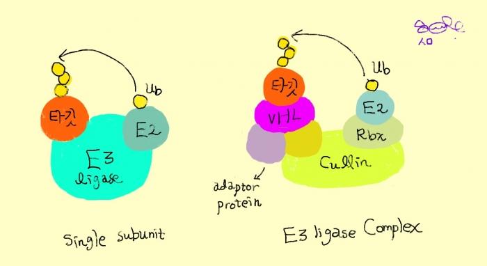 ▲E3 리가아제가 단일체 vs 복합체로 작용하는 경우