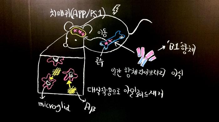 ▲쥐의 골수에 도입한 cell-migration-based in vivo selection system 유래 B1항체가 골수서 microglia like cell 분화유도 →뇌로이동→대식작용을 통한 아밀로이드 제거