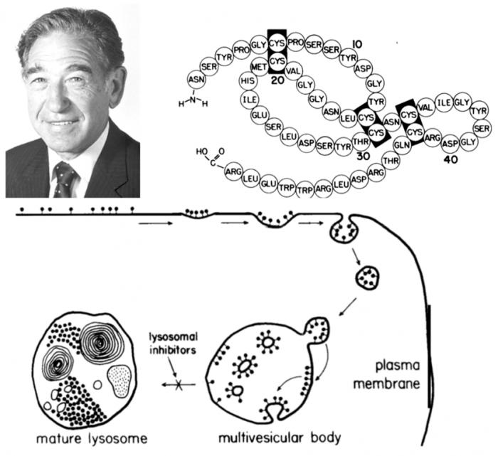 ▲그림 2 상피세포성장인자 (Epidermal Growth Factor : EGF)를 처음으로 발견하여 1986년 노벨생리의학상을 탄 스탠리 코헨 (Stanley Cohen)과 EGF 및 EGFR의 엔도사이토시스 과정 [6] 재조합 DNA 기술을 보이어와 함께 개발한 스탠리 S. 코헨 (Stanley S. Cohen)과는 다른 인물이다.