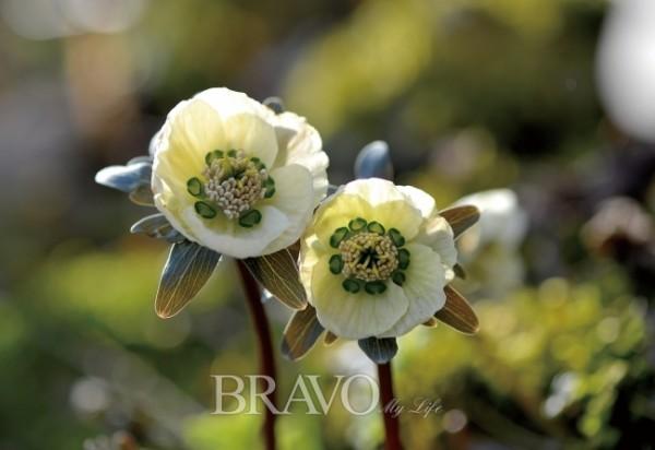 ▲변산바람꽃, 미나리아재빗과 너도바람꽃속의 여러해살이풀. 학명은 Eranthis pungdoensis B.U. Oh.
